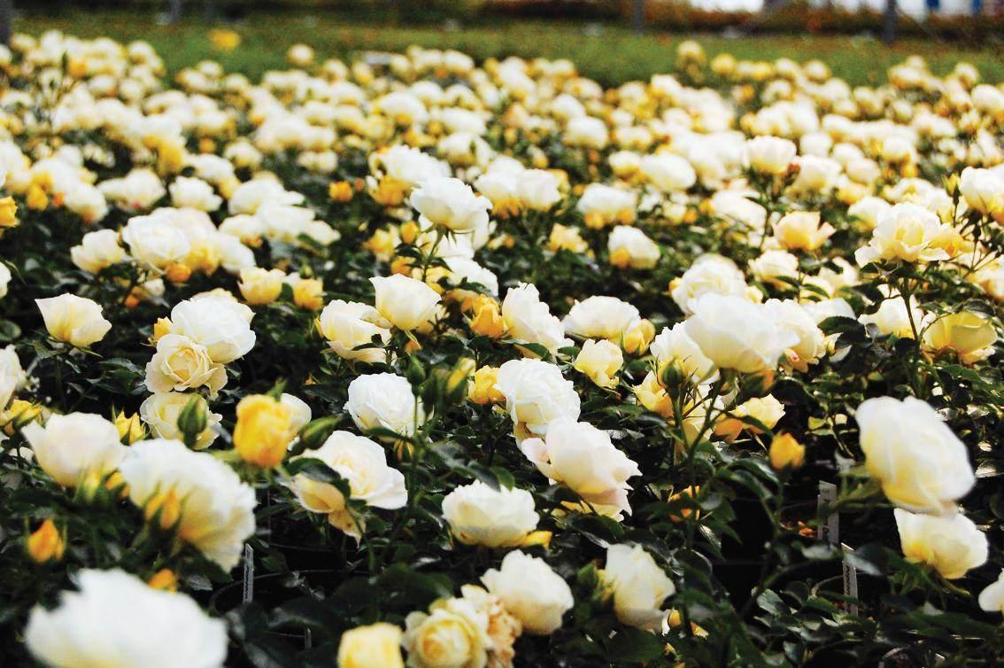 popcorn_drif_roses